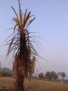 Burnt palm tree
