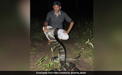 Ular king cobra atau lanang