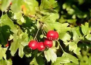 Red Hawthorn, Food for good eyesight
