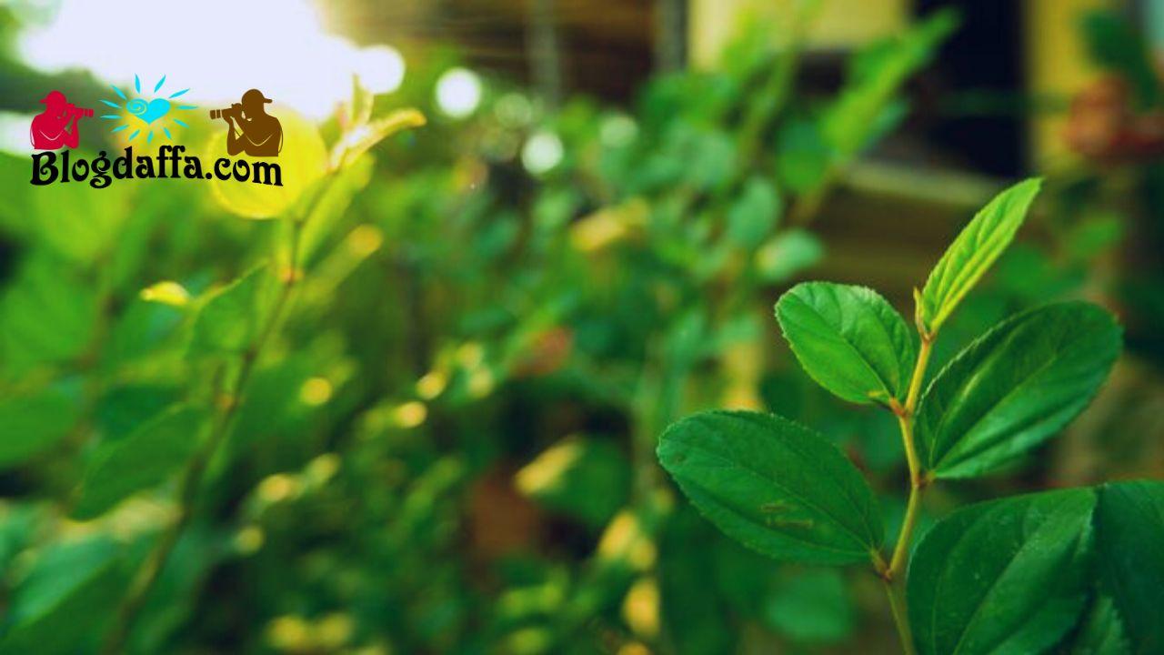 Manfaat menanam pohon bidara di depan rumah