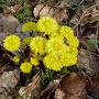 Tussilage en fleur