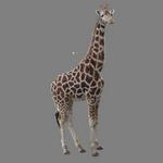 giraffe in spanish
