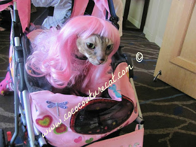 Coco the Cornish Rex in her Pink Wig at BlogPaws Conference