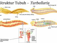 Platyheminthes (Cacing Pipih): Ciri – Ciri Umum dan Turbelaria (Planaria dan Dugesia)