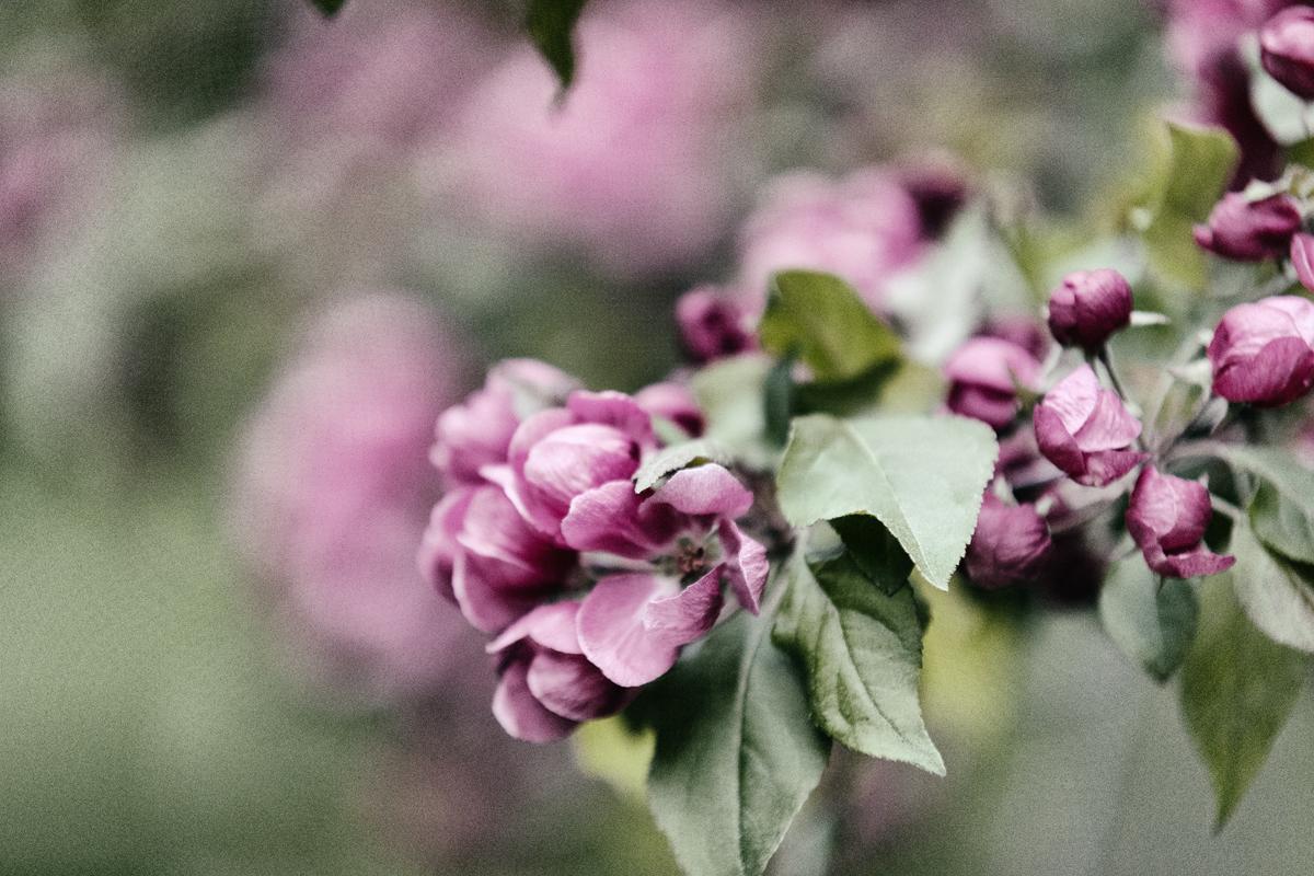 valokuvaus, elämä, Visualaddict, valokuvaaja, Frida Steiner, Visualaddictfrida,blossom, appletree, kukat, omenapuu