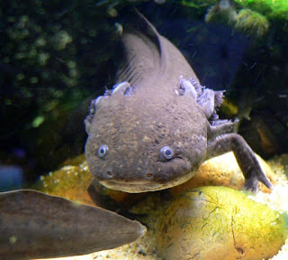 Our Creator gave us minds, so we develop science and technology to improve our lives. Medical science uses the axolotl to help alleviate suffering.