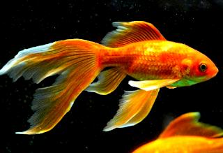 Jenis Ikan komet slayer