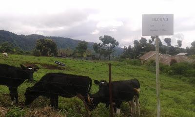 gambar potensi peternakan sapi