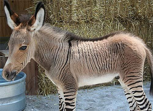 young-striped-zonkey.jpg