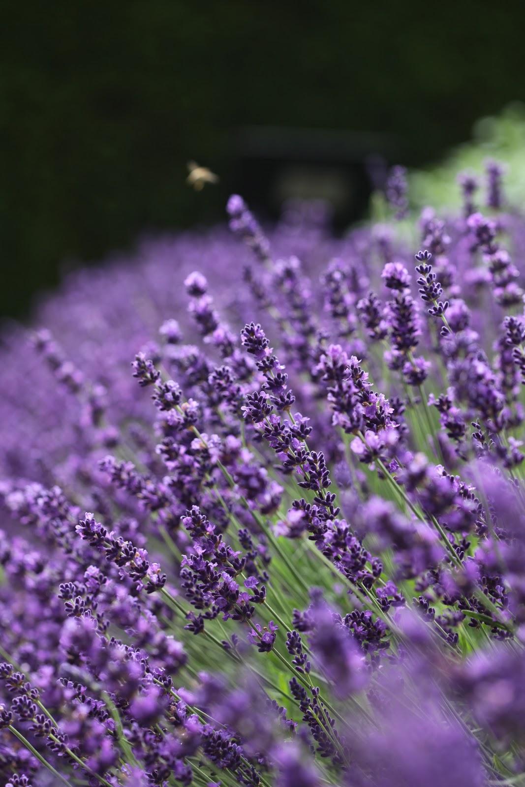 591b80dc7 Garden Living: Duftende lavendel – slik lykkes du