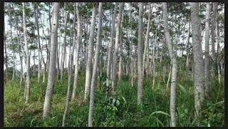 Manfaat Pohon Sengon Bagi Kesehatan Tubuh