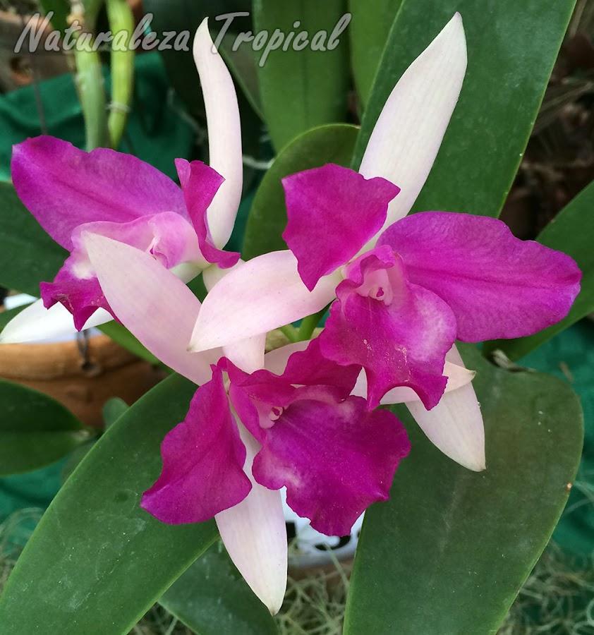 Cattlianthe Farandulera es una orquídea híbrida obtenida mediante el cruce de una especie del género Cattleya y otra del género Guarianthe