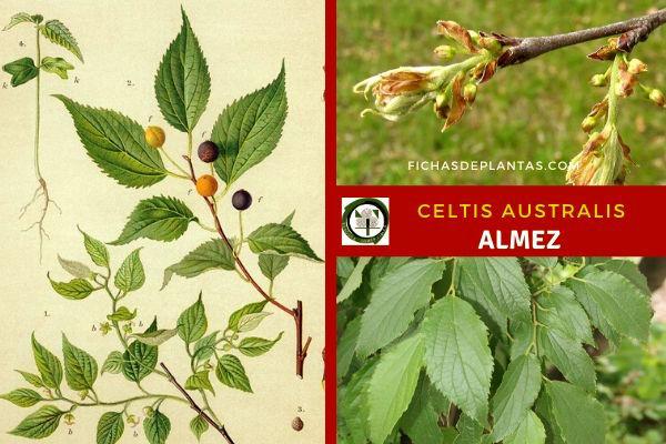 Celtis australis se adapta a climas un poco extremos, Le gusta los climas moderados mediterráneos