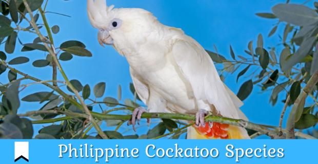 Red-vented Cockatoo Species