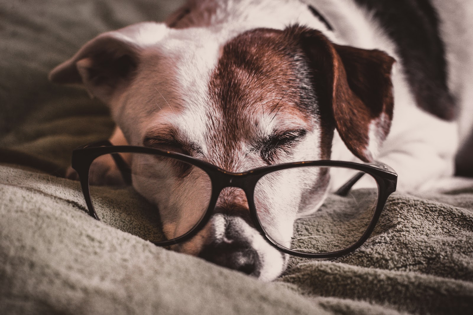 white-and-brown-dachshund-with-black-framed-eyeglasses-dog-images