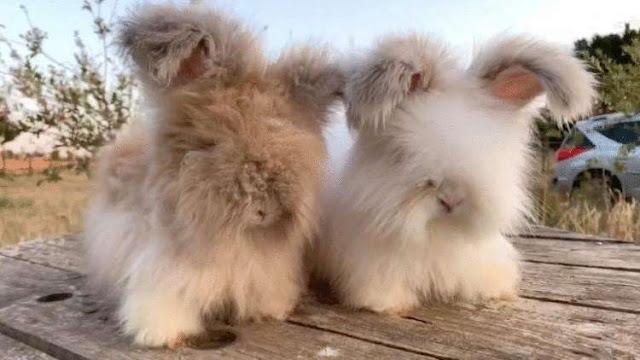 Очаровательные французские кролики с самыми пушистыми ушами!