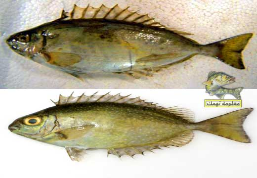 طريقة صيد سمك البطاطا   سمكة السيجان
