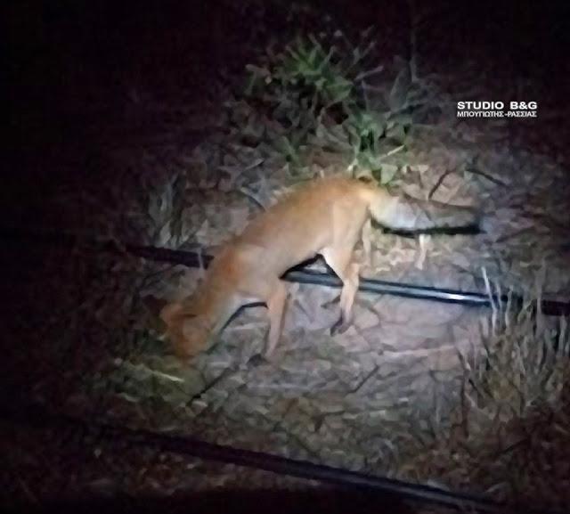 Αργολίδα: Αλεπούδες κατεβαίνουν στις πόλεις