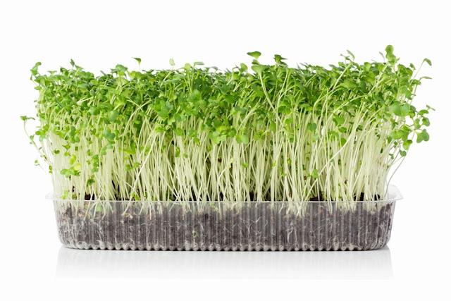 Продолжаем тему о выращивании овощей и фруктов в квартире - Микрогрин