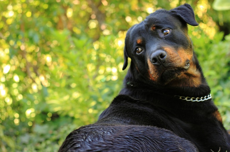 Rottweiler breed standard basic characteristics, description