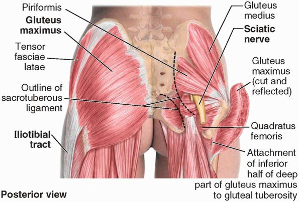 Muscles Of The Gluteal Region Anatomy