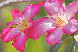 Bunga Seroja
