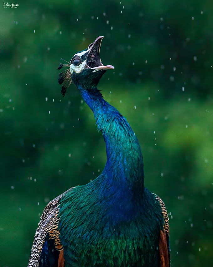 Indian Peafowl - Call For The Rain