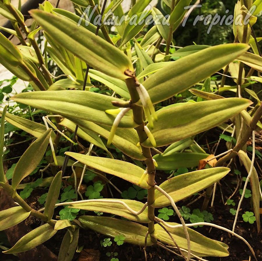 Vista del tallo de la orquídea Estrella de Fuego o Arcoíris, Epidendrum radicans