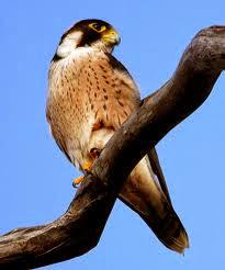 Halcón taita Falco fasciinucha