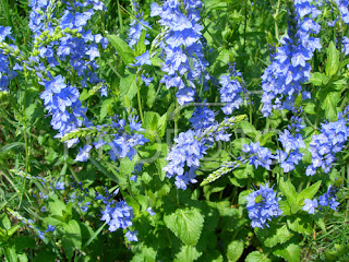 Цветок Вероники - Вероника