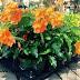 Crossandra Infundibuliformis Acanthaceae Firecracker Flower Plant