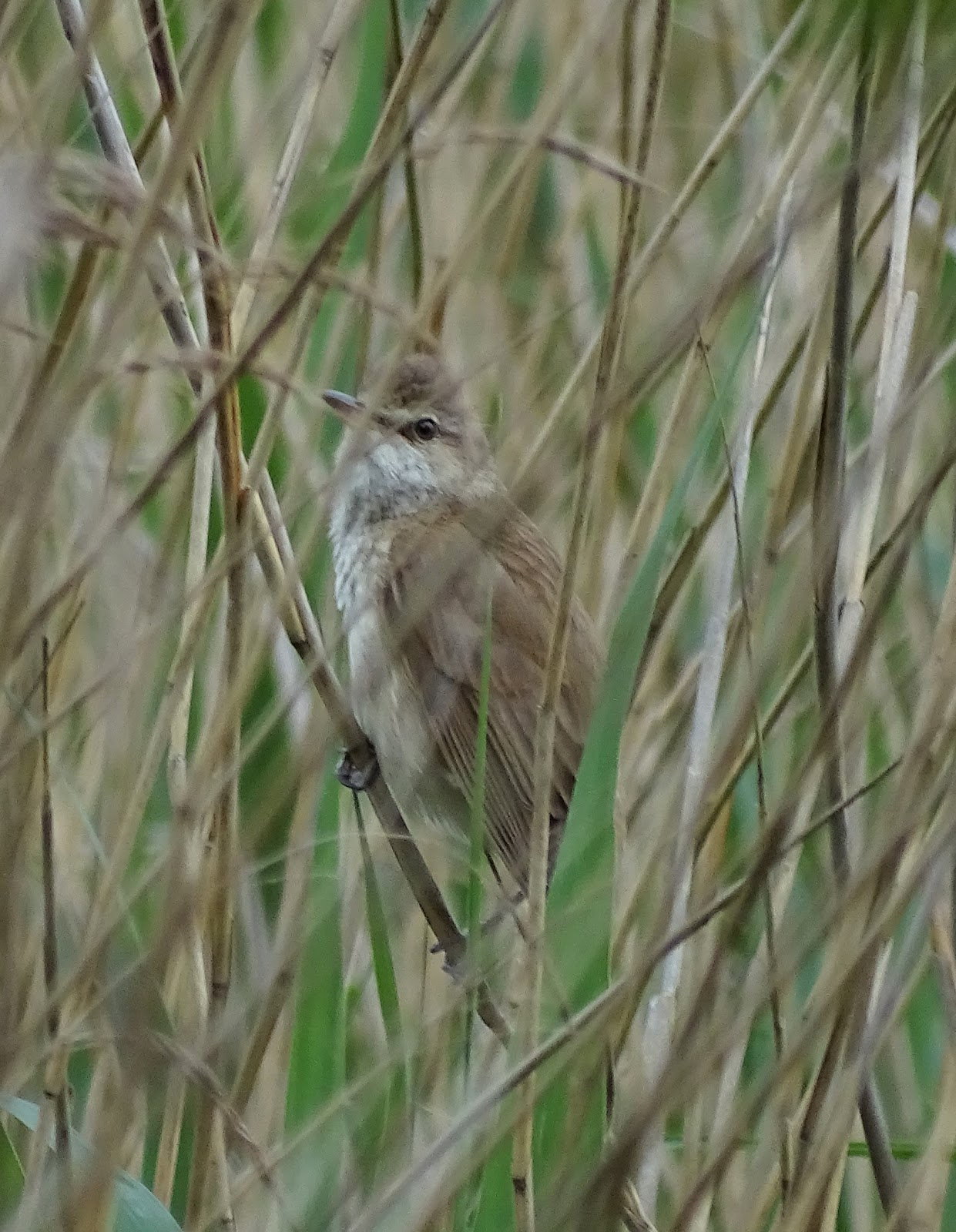 A Field Notebook Great Reed Warbler Wintersett