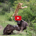 Wild Animal Attacks, Lion vs Crocodile video, Tiger, Anaconda, Buffaloes, Deer, Wildbeest