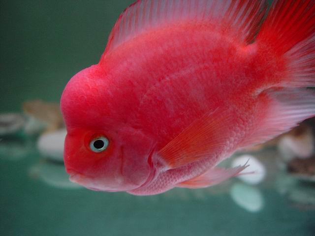 Flowerhorn Parrot Cichlid Related Keywords & Suggestions