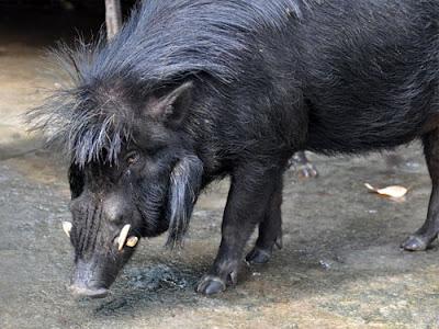 endangered wild pigs