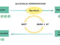 Respirasi Anaerob - Respirasi Tanpa Memerlukan Oksigen