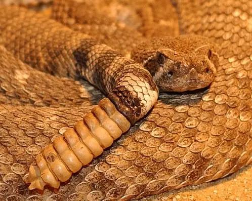gambar reptil ular derik