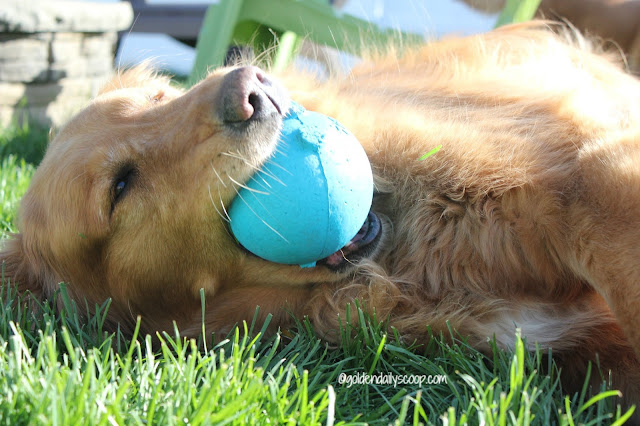 golden retriever dog and his ball in the grass #wordlesswednesday