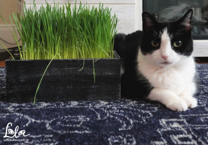 Black and white cat with cat grass