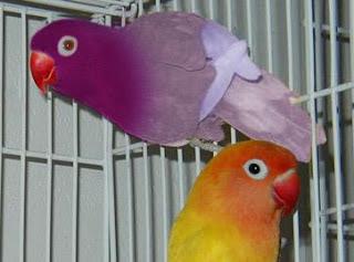lovebird impor, lovebird import