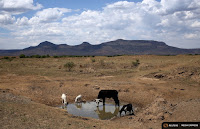 Livestock drink from a drying river outside Utrecht, a small town in the northwest of KwaZulu-Natal, on Nov. 8, 2015. (Credit: Reuters/Siphiwe Sibeko) Click to Enlarge.