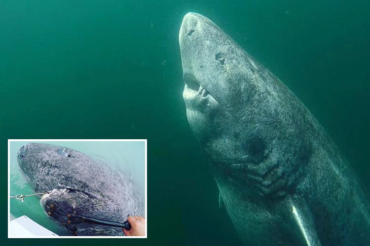 oldest shark, greenland shark, prehistoric share