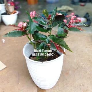 Begonia Angel Wing bunga ping untuk teras rumah