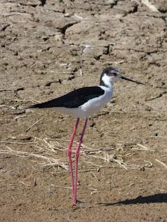 Black stilt bird in hindi