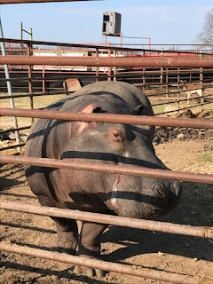 Hippopotamus at Wild Wilderness Drive Through Safari in Gentry, Arkansas