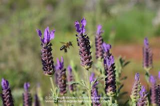 jardinería, jardines, lavanda, abejas, jardines naturales