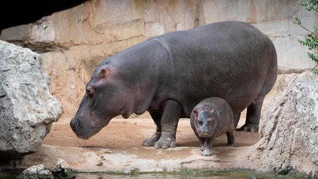 El bebé hipopótamo Gori cumple 1 mes