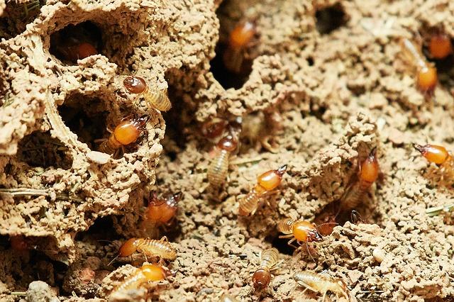 rayap membuat sarang dan lubang