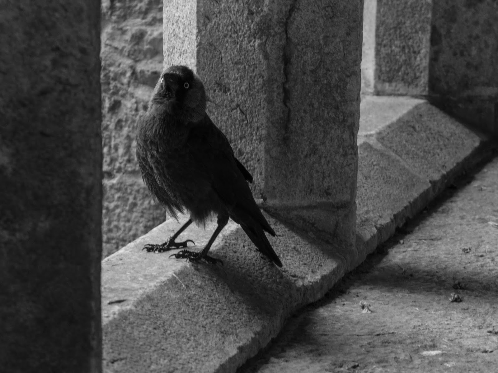 A crow sitting on a window ledge in an Augustinian Friary in Adare, Co.Limerick.