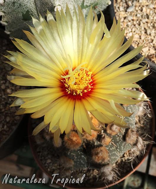 Flor característica del cactus Astrophytum asterias; cactus muy popular en las colecciones